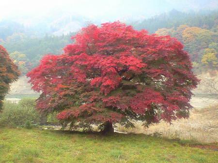 永源寺紅葉 巨木